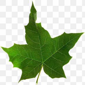 Leaf - Maple Leaf Twig Plane Trees PNG