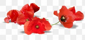 Pink Poppy - South Australia Armistice Day Anzac Day Remembrance Poppy PNG