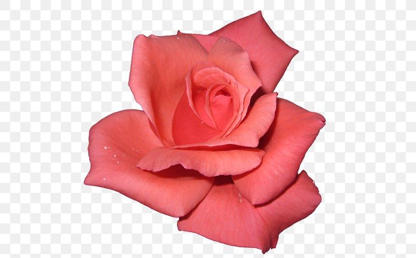 Rose Desktop Wallpaper Pink Png 500x508px Rose Coral