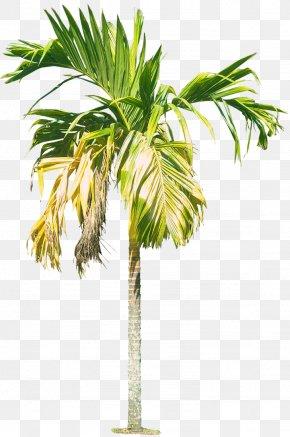 Royal Palm Tree Hd - Cyrtostachys Renda Areca Palm Arecaceae Rhapis PNG