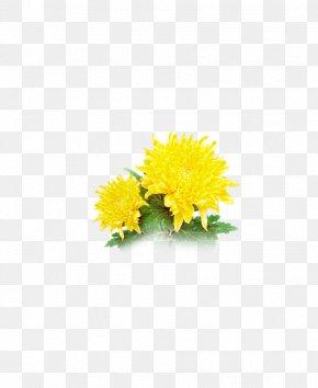 Chrysanthemum - Chrysanthemum Transvaal Daisy Cut Flowers Common Sunflower Floral Design PNG