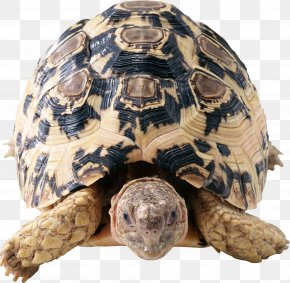 Turtle - Turtle Reptile Cat Yellow Brown PNG