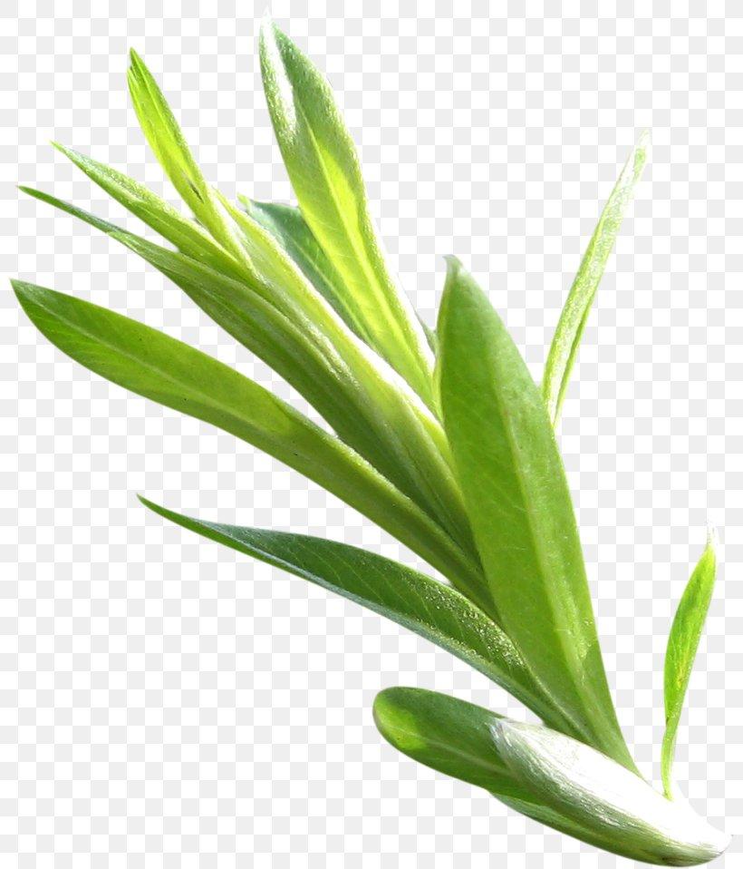 Leaf Green Plant Stem, PNG, 803x958px, Leaf, Branch, Designer, Drawing, Grass Download Free