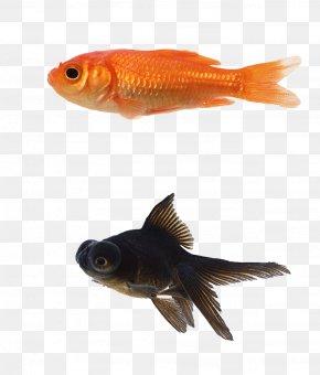 3d Animal Cartoon Animals,Goldfish Blackfish - Black Telescope Siamese Fighting Fish Aquarium PNG