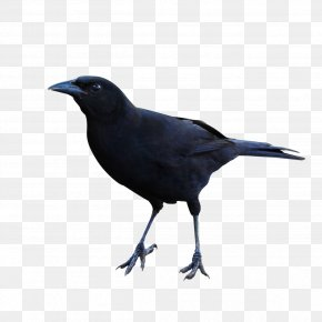 Raven Clipart - American Crow New Caledonian Crow Rook Common Raven Beak PNG