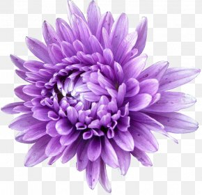 Flower - Aster Seed Flower Annual Plant Chrysanthemum PNG