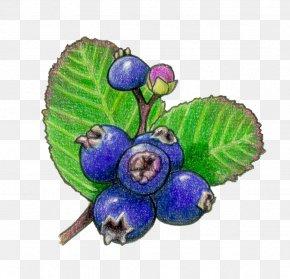 Berries - Bilberry Saskatoon Fruit Blueberry PNG