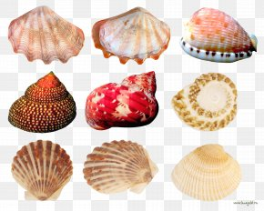 Creative Scallops Conch Collection - Cockle Seashell Conchology PNG