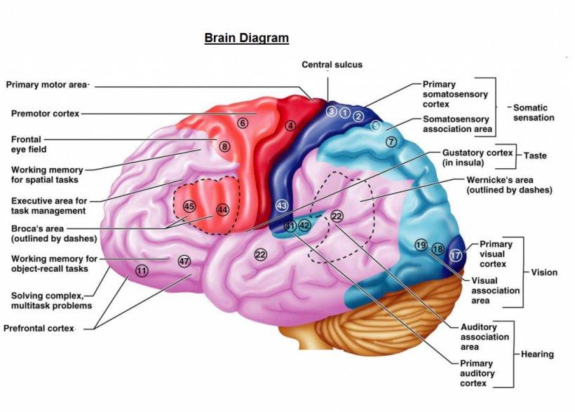 Cerebral Cortex Cerebrum Brain Function Primary Motor ...