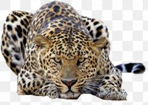 Leopards - Leopard Tiger Felidae Desktop Wallpaper High-definition Television PNG
