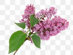 Lilac - Purple Syzygium Aromaticum Flower Lilac PNG
