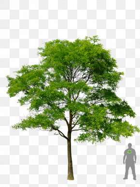 Tree Plan - Honey Locust Tree Plant PNG
