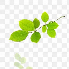 Leaf - Leaf Tree Stock Illustration PNG