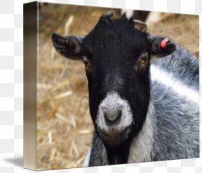 Goat - Goat Imagekind Sheep Art Poster PNG