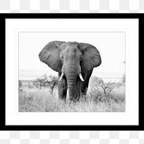 African Elephant - African Elephant Black And White Indian Elephant Photography PNG