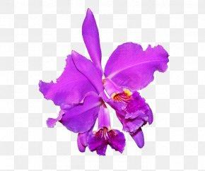 Cut Flowers Christmas Orchid - Flower Cattleya Labiata Violet Purple Plant PNG