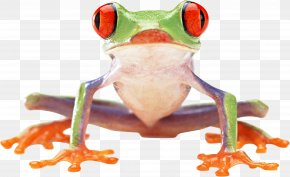 Frog Image - Frog Amphibian Clip Art PNG