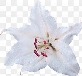Lily - Jewelry Tallinn Lilium Flower PNG