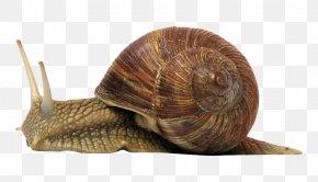 Snail - Land Snail Gastropods Snail Slime PNG