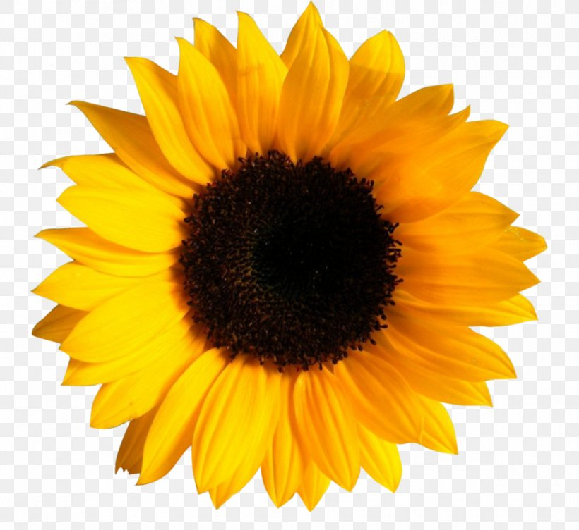 Clip Art Transparency Image Common Sunflower, PNG ...