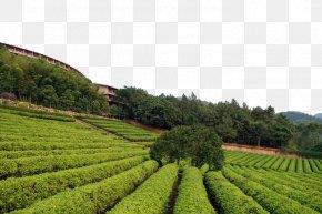 Green Tea Garden Material - Tea Garden Download PNG