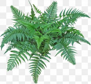Tropical Plants - Fern Burknar Vascular Plant Clip Art PNG