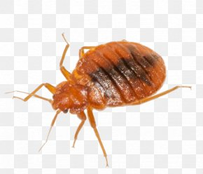 Bug - Cockroach Mosquito Insect Rodent Bed Bug PNG