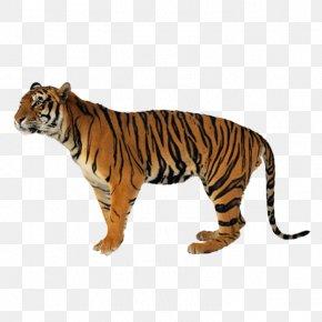 Tiger - Tiger Lion Leopard Felidae Cat PNG