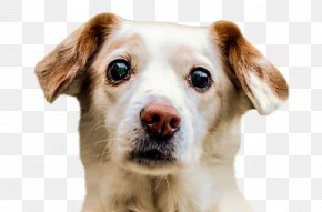 Dog Face - Border Collie Puppy Pet Sitting PNG