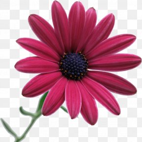 Camomile - Flower Desktop Wallpaper Stock Photography Clip Art PNG