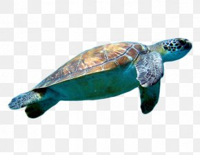 Turtle Pictures - Loggerhead Sea Turtle Cheloniidae Clip Art PNG