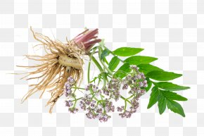 Valerian - Valerian Officinalis Tintura Madre Common Sage Root PNG