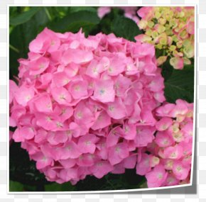 Flower - Tea Of Heaven French Hydrangea Flower Shrub Pink PNG