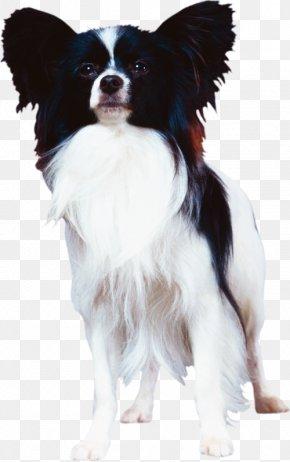 Papillon Dog Phalène Dog Breed Companion Dog Canidae PNG