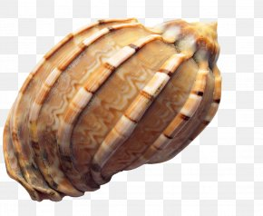 Conch - Seashell Icon PNG