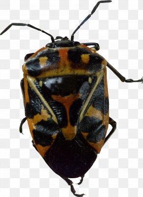 Bug Image - Beetle Harlequin Cabbage Bug PNG