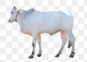 Sheep - Dairy Cattle Boer Goat Brahman Cattle Taurine Cattle Calf PNG