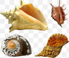 Seashell - Seashell Oyster Mollusc Shell Gastropod Shell PNG