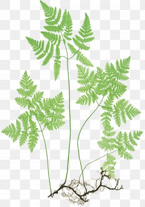 Fern Aquarium Decor - Northern Oak Fern Plants Botany The Ferns Of Great Britain And Ireland PNG