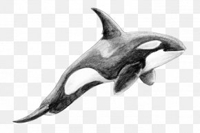 Dolphin - Rough-toothed Dolphin White-beaked Dolphin Killer Whale Cetacea PNG