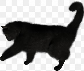 Kitten - Kitten Nebelung Bombay Cat PNG