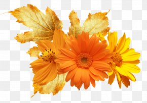 Flower - Calendula Officinalis Flower Mexican Marigold Stock Photography Clip Art PNG
