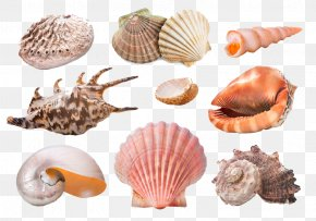 Beautiful Creatures - Seashell Starfish Snail Molluscs Sand PNG