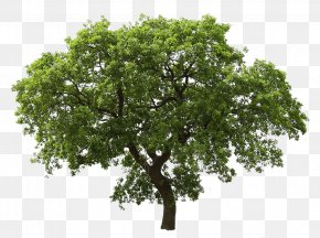 Tree Image - Tree Oak PNG