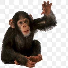Chimpanzee - Orangutan Primate Monkey Common Chimpanzee PNG