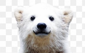 Polar Bear - Polar Bear Desktop Wallpaper Theme PNG
