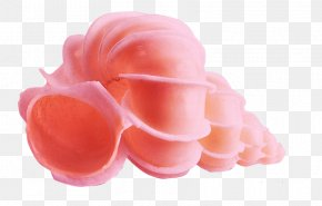 Peach Color Conch - Conch Pink Peach Color PNG