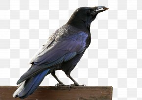 Raven - American Crow Rook Hooded Crow Bird Common Raven PNG
