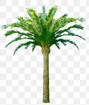 Coconut - Palm Trees Trachycarpus Fortunei Coconut Canary Island Date Palm African Oil Palm PNG