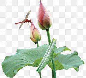 Lotus Dragonfly - Nelumbo Nucifera Dragonfly Raster Graphics PNG